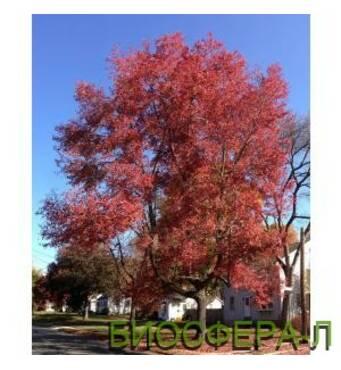 Клён красный Октобер Глори (Acer rubrum October Glory)