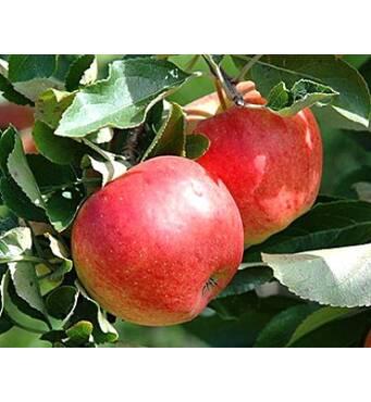Саженец яблони Теремок