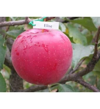 Яблоки Элиза