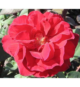 Троянда Баркарола