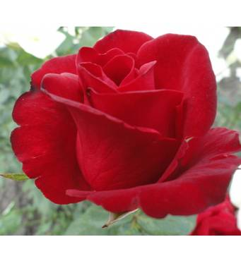 Троянда Гранд Гала