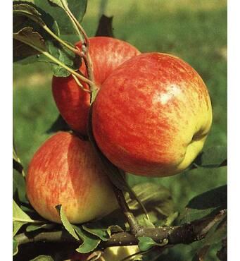 Саженец яблони Мантет