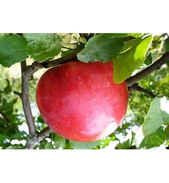 Саженец яблони Деличия