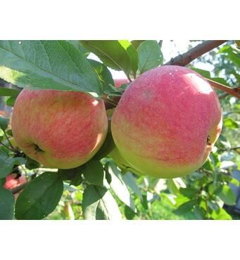 Саженец яблони Оттава