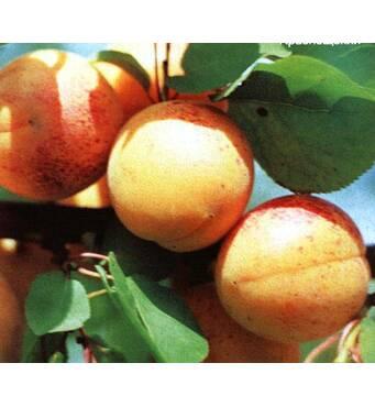 Саженец абрикоса Оболонский