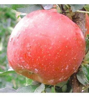 Саженец яблони Фуджи