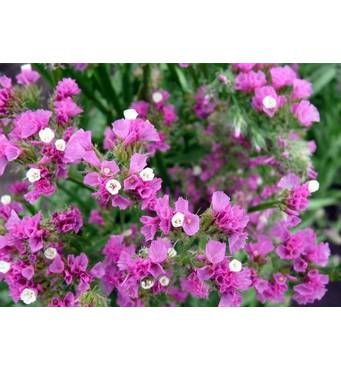 Лімоніум Ажурний рожевий