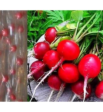 Редис Сора (ЕРД-25) дражоване насіння на стрічці