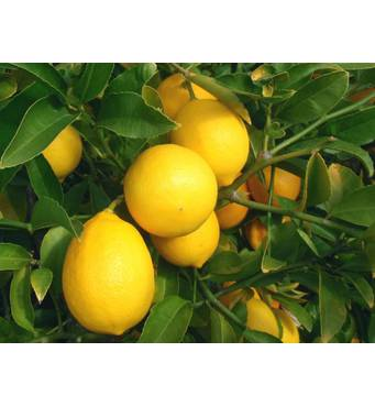 Лимон Мейера (ІКМ-2) за 0,5-1,5 л