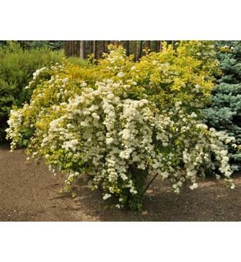Спірея Вангутта Голд Фонтан біле жовте листя купити у роздріб