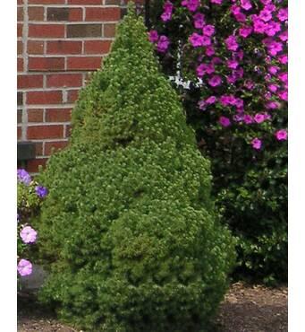 Ялина канадська сиза Picea glauca Conica купити в Чернігові