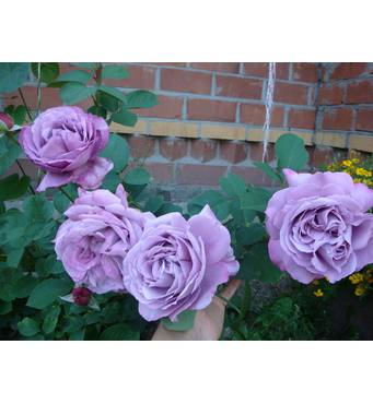 Троянда плетиста Індіголетта