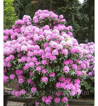 Рододендрон гибридный Roseum Elegans 3 годовой Рододендрон гибридный Розеум Элеганс Rhododendron Roseum