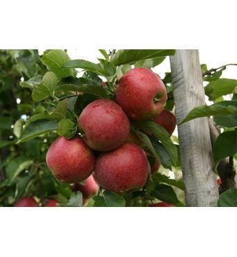 Яблоки сорта Ред Джонапринц