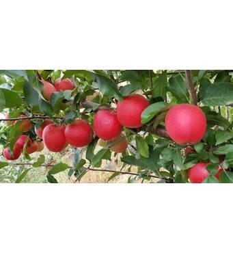 Яблука сорту Гала