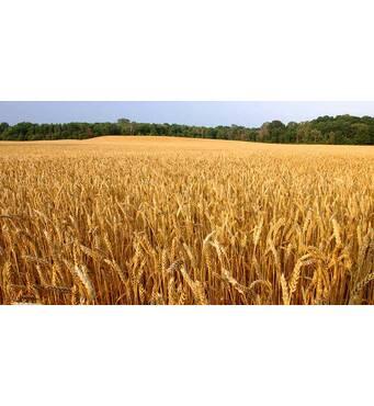 Насіння пшениці Гарантія Одеська (Супереліта)
