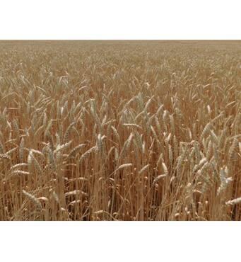 Насіння озимої пшениці Борія (Еліта)
