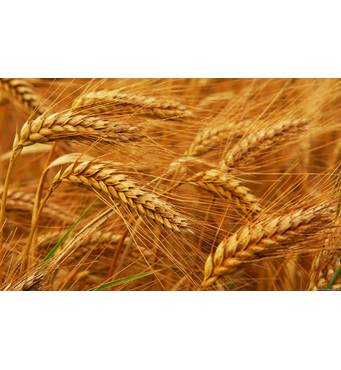 Насіння озимої пшениці Смуглянка (Еліта)