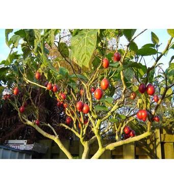 Томатное дерево Тамарильйо (ІКМ-23) за 0,5-1,5 л