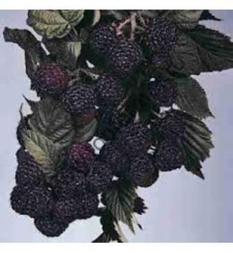 Чорна малина Мангер