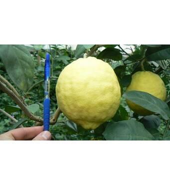 Лимон Киевский крупноплодный (ІКМ-1) за 0,5-1,5 л