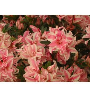 Азалия японская Melle 3 годовая, Азалия японская /рододендрон Мелле, Rhododendron / Azalea japonica Melle