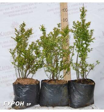 Саджанці голубики сорт Гурон, 3 літні пакет 7.5 л 60-80 см