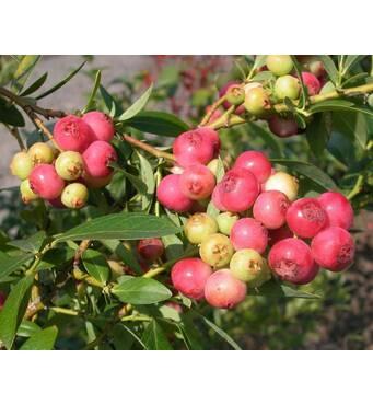 Саженцы голубики Розовый Лимонад (Pink Lemonade) 3 летняя, пакет 3.5 л