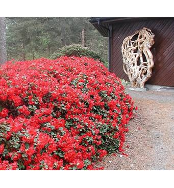 Рододендрон Baden - Baden 3 годовой, Рододендрон Баден Баден, Rhododendron Baden - Baden