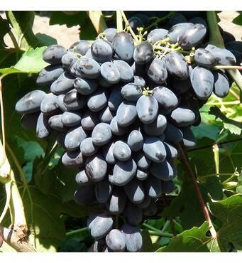 Виноград Атос (ІВН-85)
