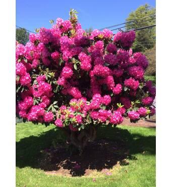 Рододендрон гибридный Nova Zembla 1 годовой, Рододендрон гибридный Новая Зембла, Rhododendron Nova Zembla