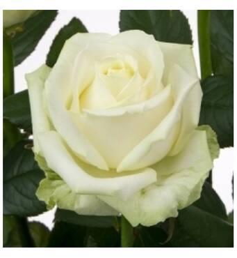 Троянда чайно-гібридна Маруся