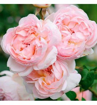 Троянда плетиста Sharifa - Asma