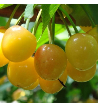 Саженцы черешни сорт Дрогана Желтая
