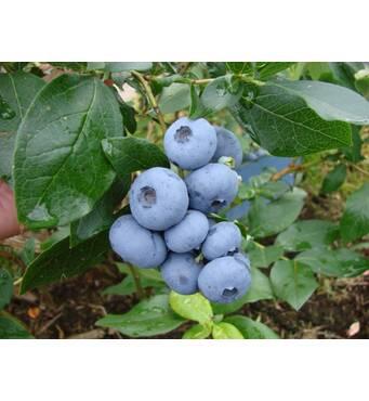 """Голубика """"Бонус"""" (Bonus Blueberry), 4-річна в горщику 5л h-100-130см. кущ.,3-5 втеч"""