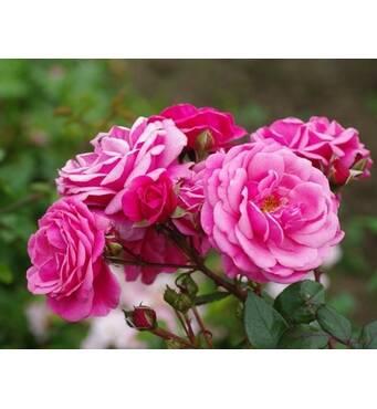 Саджанці троянди сорту Etude (Етюд)
