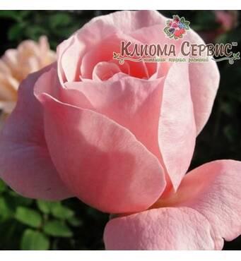 Саджанці троянд сорт Куин оф Ингланд (Queen of England)
