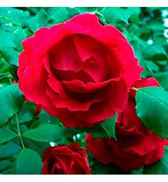 Саженцы роз сорт Флейм Денс