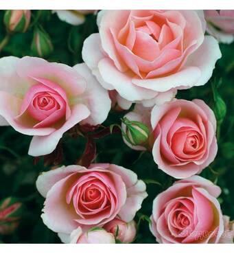 Саженцы роз сорт Пинк Шампейн
