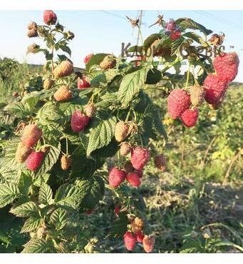 Саджанці малини сорт Brusvyana