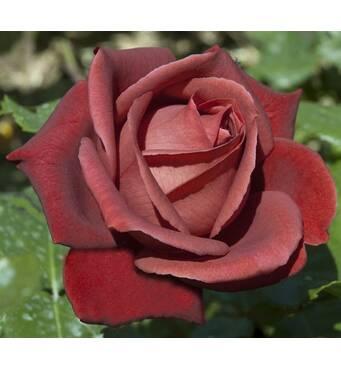 Саджанці троянд сорт Теракота (Terracotta)