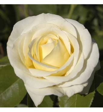 Саджанці троянд сорт Chopin (Шопен)