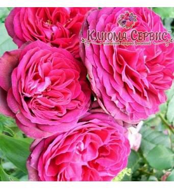 Троянда плетиста сорт Pink Musimara