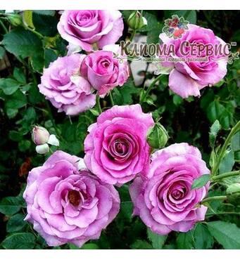 Троянда плетиста Climbing Violette Parfumе