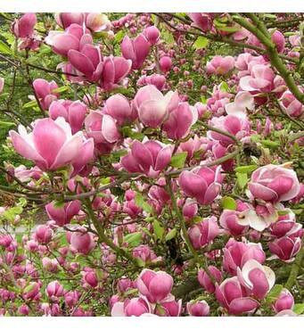 Магнолия суланжа Picture 3 годовая 50-60см, Магнолия суланжа Пиктуре, Magnolia X soulangeana Picture