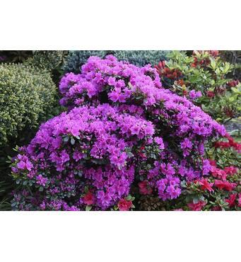 Азалия японская Geisha Purple 4 годовая, Азалия японская /рододендрон Гейша Пурпл, Azalea japonica Geisha Purple