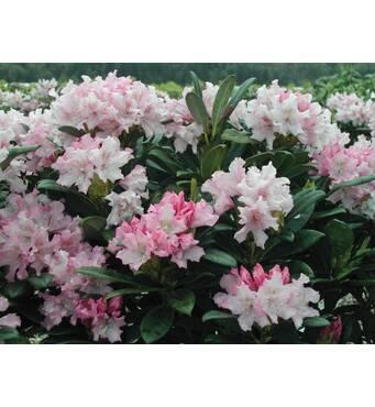 Рододендрон гібридний Рohjola's daughter 3 річний, Рододендрон гибридный Похиолас Дотер, Rhododendron hybrid