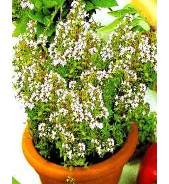 Семена Чабер садовый   (имп)