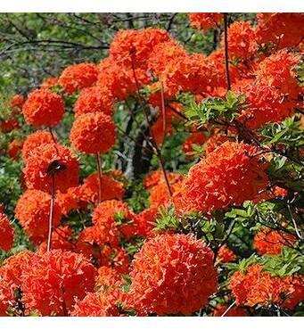 Рододендрон листопадный Mandarin Lights 2 годовой, Рододендрон листопадный Мандарин Лайтс Rhododendron Mandarin