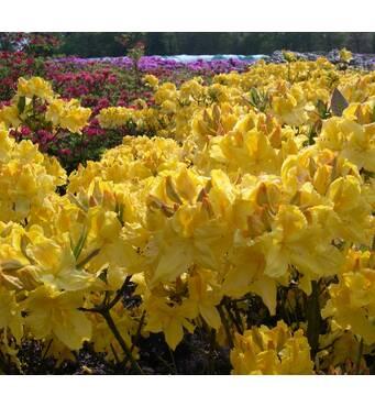 Рододендрон листопадный Limetta 2 годовой, Рододендрон листопадный Лиметта, Rhododendron Limetta